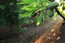 עץ השקד