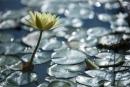 פרח הנימפאה