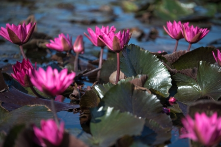 פרחי נימפאה