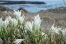 חבצלות בחוף