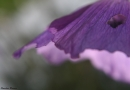 כנף סגולה