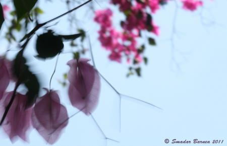 צילום בוגנביליה ברוח