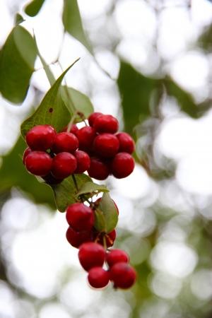 פרי אדום
