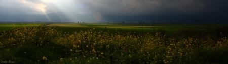 נוף עם שדה חרדל