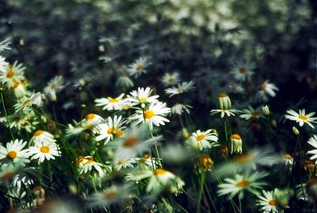 פרח הקמומיל