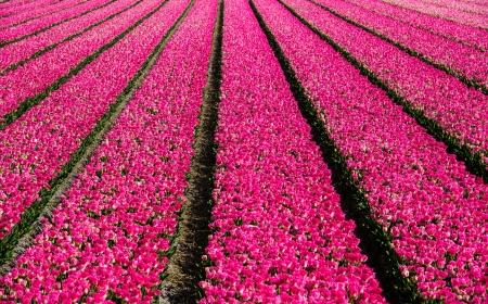 פריחת הצבעונים בהולנד