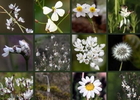 פרחי בר בלבן