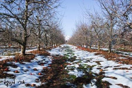 מטע תפוחים בשלג