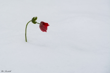 כלנית בשלג
