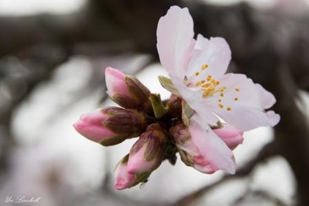 פרח השקד
