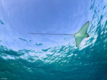 עטלף ים בכחול