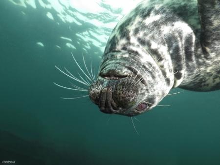 כלב ים הפוך
