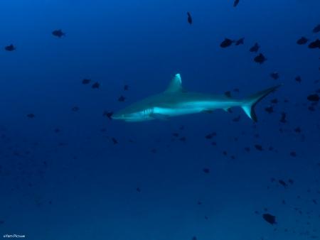 כריש בכחול