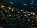 דגי זכוכית