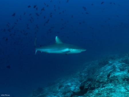 כריש בכחול 2