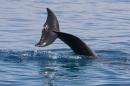 זנב דולפין
