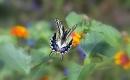 פרפרים בתעופה
