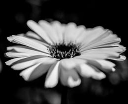 פרחים לבנים