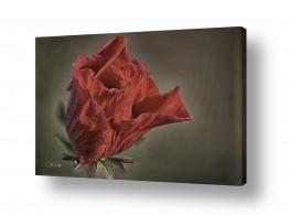 צילומים צילום תקריב | Red