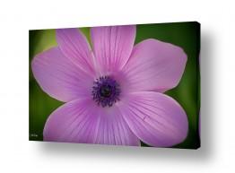 פרחים כלנית | ללא כותרת