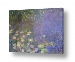 פרחים לוטוס | חבצלות מים  water lilies