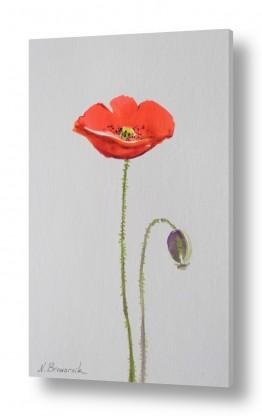 פרחים פרגים | עדנה