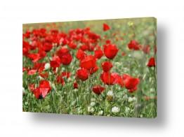 פרחים פרגים | שדה פרגים