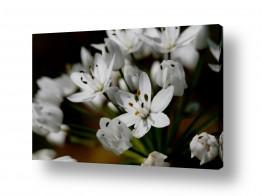 תמונות לחדרי כניסה | פרח לבן