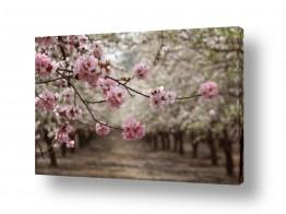 עץ שקד | פריחת השקדיה