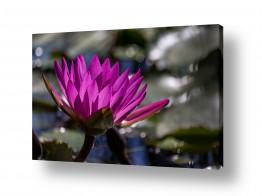 צילומים ניקולאי טטרצ'וק | פרח על המים