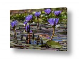 צילומים ניקולאי טטרצ'וק | פרחים על מים
