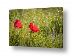 פרחים כלנית | פריחת כלניות