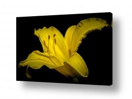 צומח עלים | yellow Lily