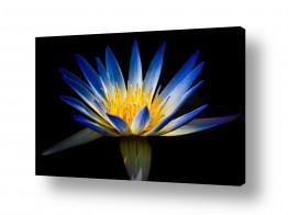 פרחים לוטוס | Sacred Lotus