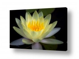 צומח פרחים | לוטוס צהוב