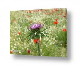 פרחים כלנית | קוץ וכלניות