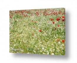 פרחים כלנית | שדה כלניות