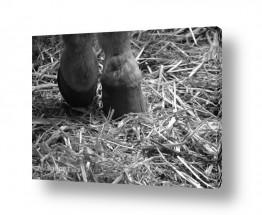 תמונות לפי נושאים חווה | רגליים אחוריות