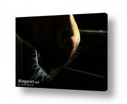 תמונות לפי נושאים חווה | זקן סוס