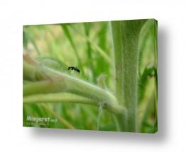 חרקים נמלה | הנמלה