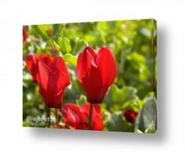 פרחים רקפת   רקפות אדומות