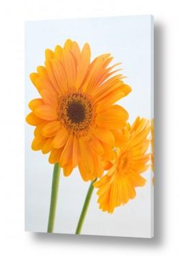 פרחים גרברה | גרברה 1