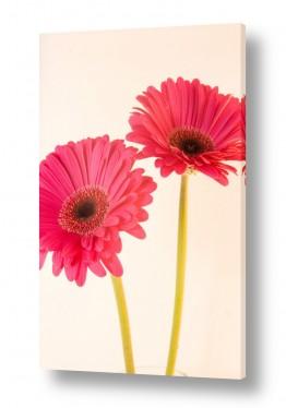 פרחים גרברה | גרברה 2