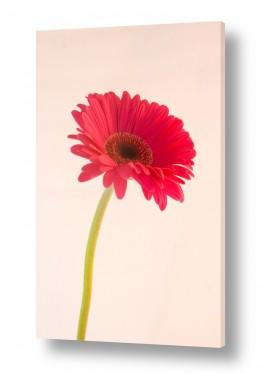 פרחים גרברה | גרברה 3