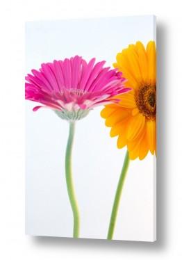 פרחים גרברה | גרברה 4