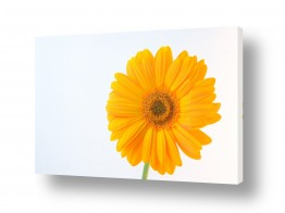 פרחים גרברה | גרברה 5