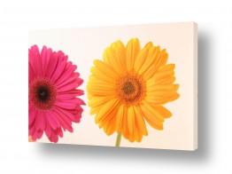 פרחים גרברה | גרברה 6