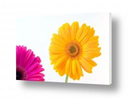 פרחים גרברה | גרברה 8