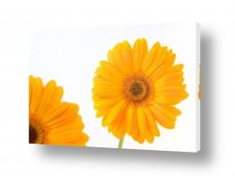 פרחים גרברה | גרברה 9