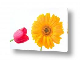 פרחים גרברה | גרברה 10
